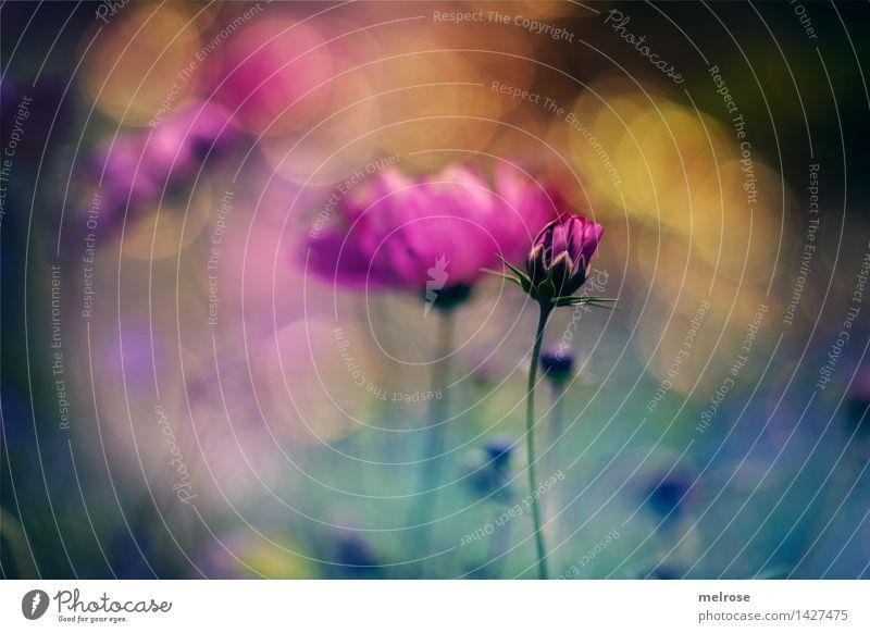 BOKEH-Farbenrausch elegant Stil Design Natur Pflanze Sommer Schönes Wetter Blume Blüte Blütenknospen Pflanzenteile Blütenblätter Blumenwiese Sommerwiese Garten