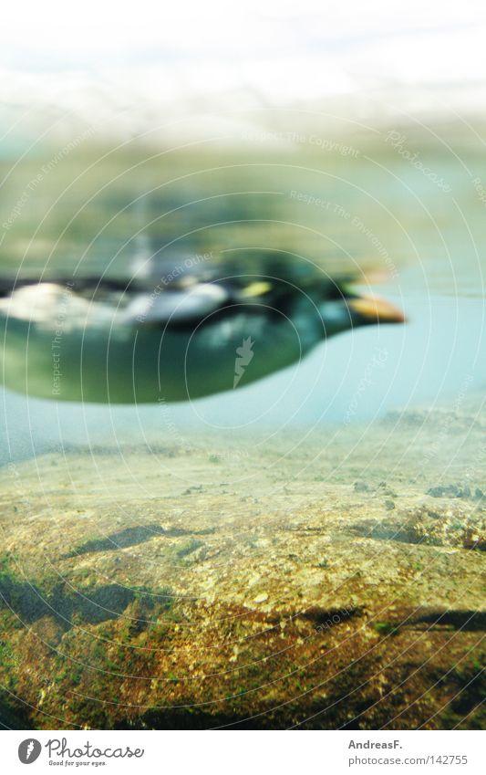 Fischperspektive Meer Winter kalt Wasserfahrzeug Eis Vogel tauchen Zoo frieren Bauch Froschperspektive Perspektive Pinguin Schnorcheln Leiche