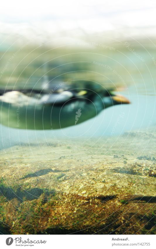 Fischperspektive Pinguin Südpol Arktis kalt Eis frieren Winter Polarmeer Meer Vogel Unterwasseraufnahme Froschperspektive Bauch Zoo Wasserfahrzeug Antarktis