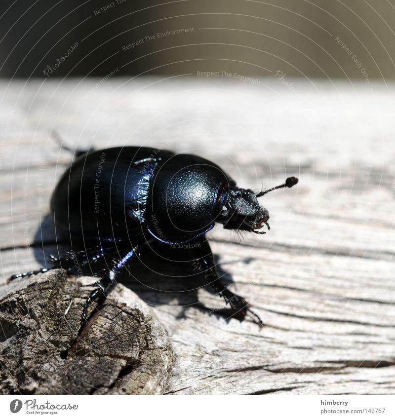 schwarzer peter Käfer Insekt Schiffsbug Tier krabbeln klein Natur Freiheit Zoo gehen wegfahren Sommer Forstweg Außerirdischer Makroaufnahme Wächter Fühler Angst
