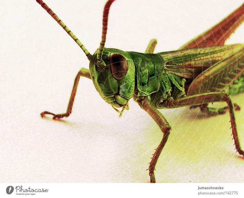 Herr Flip Heuschrecke Steppengrashüpfer Grünes Heupferd Salto Insekt Tier springen sitzen hocken Blick Neugier niedlich Makroaufnahme grün Natur Plage Sommer