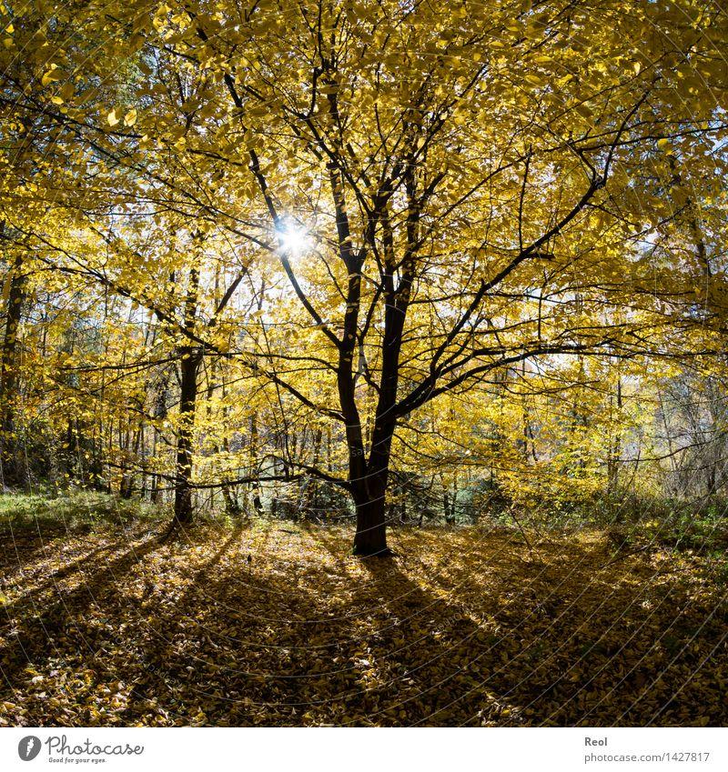 Gelbe Blätter Natur Landschaft Urelemente Sonne Sonnenlicht Herbst Schönes Wetter Pflanze Baum Blatt Baumstamm Silhouette Baumkrone Blätterdach Wald mehrfarbig