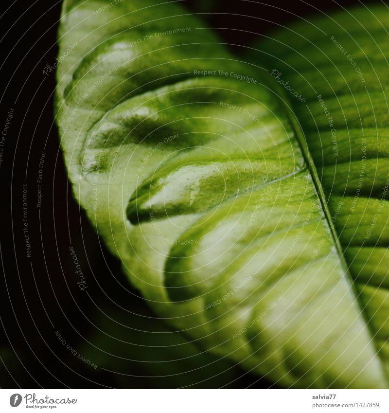 Nur-Ein-Blatt Pflanze Grünpflanze Topfpflanze exotisch Blattadern frisch glänzend saftig grün schwarz ästhetisch Natur Gesunde Ernährung Leben Wachstum