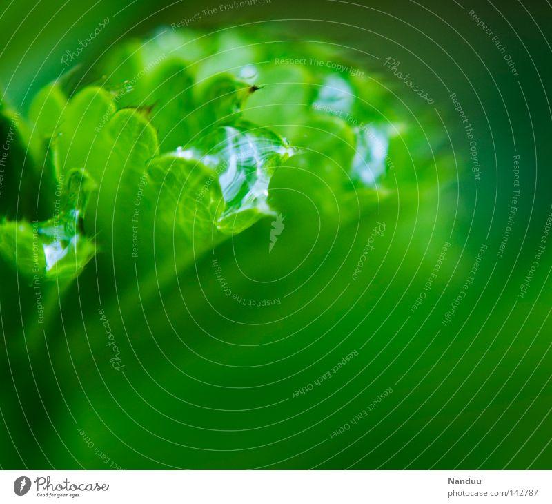 Wasserspeicher Natur Frauenmantel Pflanze Blatt Wassertropfen Tropfen Regen nass feucht frisch Heilpflanzen grün Rosengewächse Tau Sauberkeit rein knackig