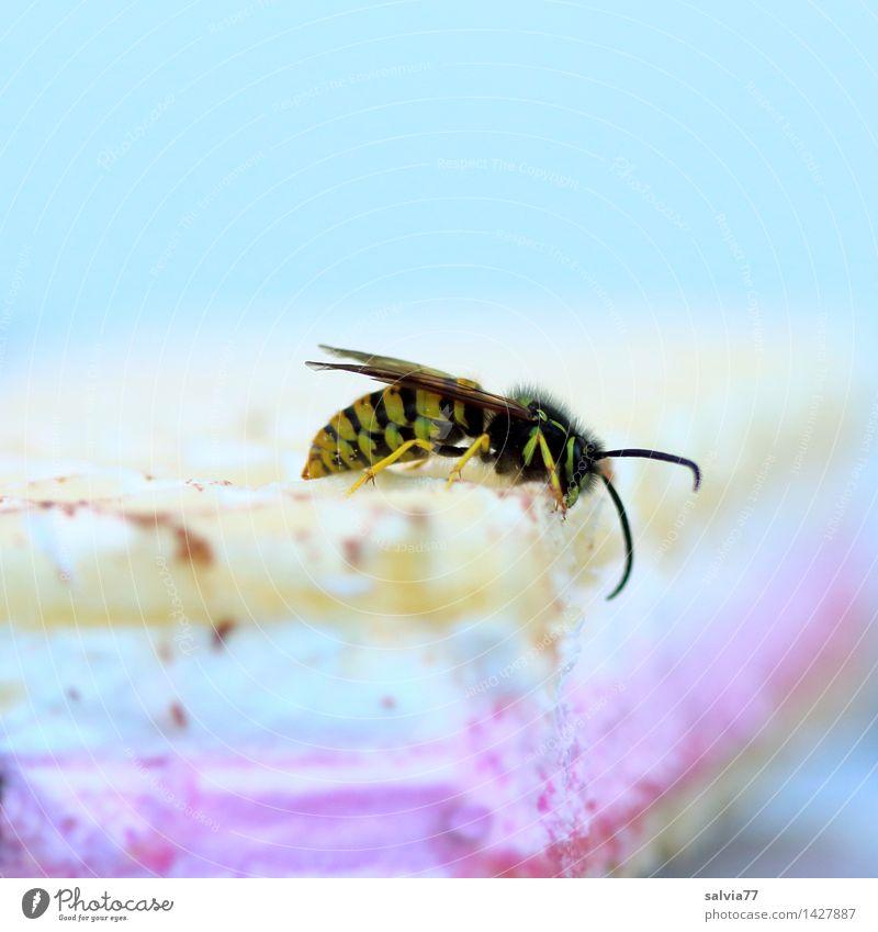 Naschwespe Natur Sommer Tier Umwelt genießen lecker Süßwaren Insekt Fressen krabbeln Wespen Laster Plage gefräßig Waffel Plagegeist