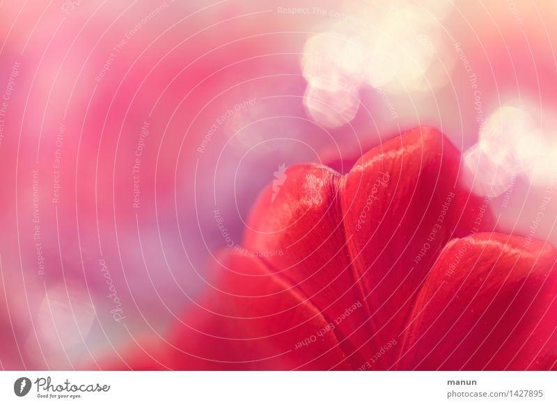 Tulpe rot Feste & Feiern Valentinstag Muttertag Ostern Geburtstag Natur Pflanze Frühling Blume Blüte Tulpenknospe außergewöhnlich glänzend natürlich rosa