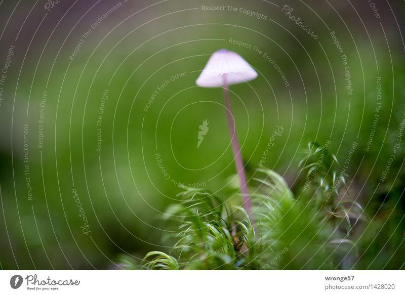 Filigran Natur Pflanze Herbst Moos Wald klein braun grün rosa Pilz Pilzhut winzig Waldboden Moosteppich Makroaufnahme Querformat Farbfoto mehrfarbig