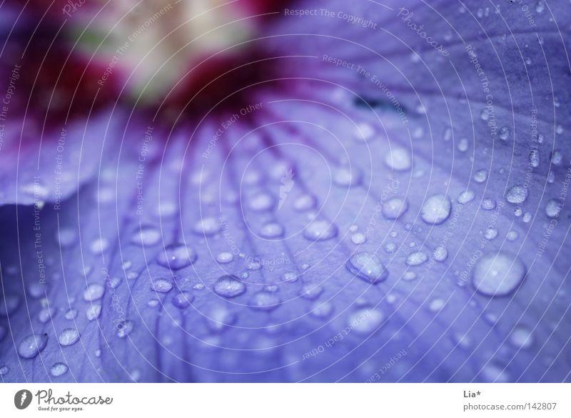 purple rain Natur Blume Blüte rosa Regen Wassertropfen Blühend nass Tropfen violett Oberflächenspannung