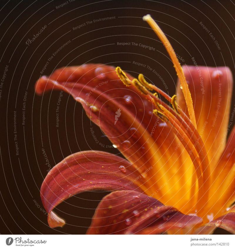 natural beauty Blume Lilien Wassertropfen Pollen Blütenkelch Blütenblatt Natur Makroaufnahme gelb orange rot braun Herbstfärbung authentisch Detailaufnahme