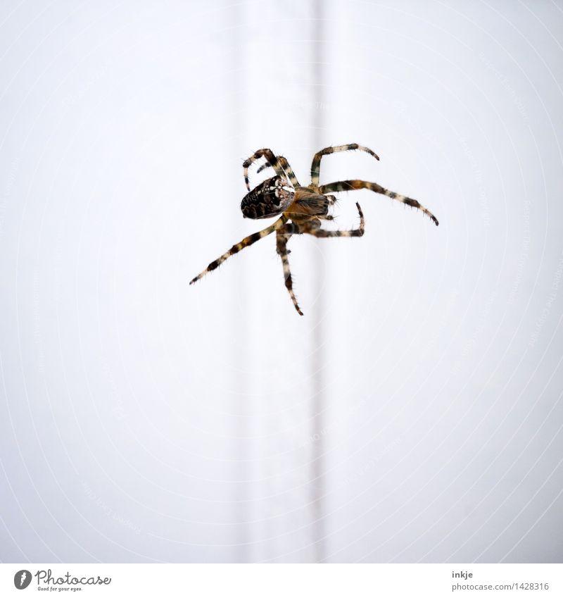 Spiderman Tier Wildtier Spinne Kreuzspinne 1 hängen krabbeln dünn Ekel braun weiß Bewegung Natur Vor hellem Hintergrund Mitte Farbfoto Außenaufnahme Nahaufnahme