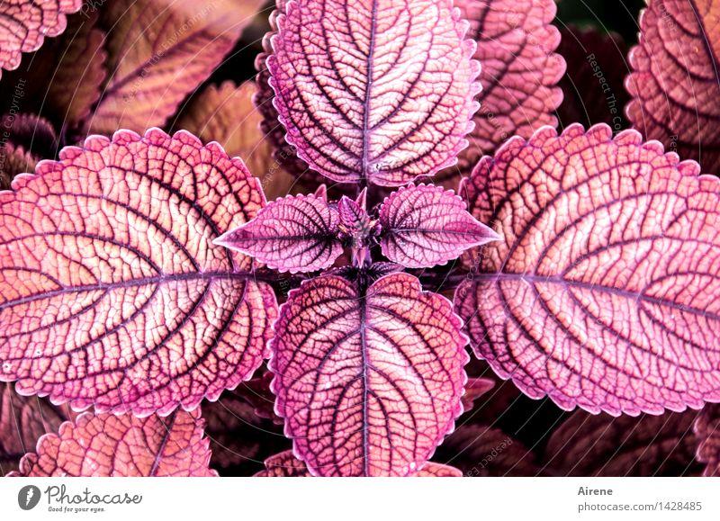 Zentralperspektive Pflanze Blatt exotisch Zierpflanze Brennnessel Buntnessel Grünpflanze Ornament Kreuz Wachstum violett rosa rot diszipliniert Zufriedenheit