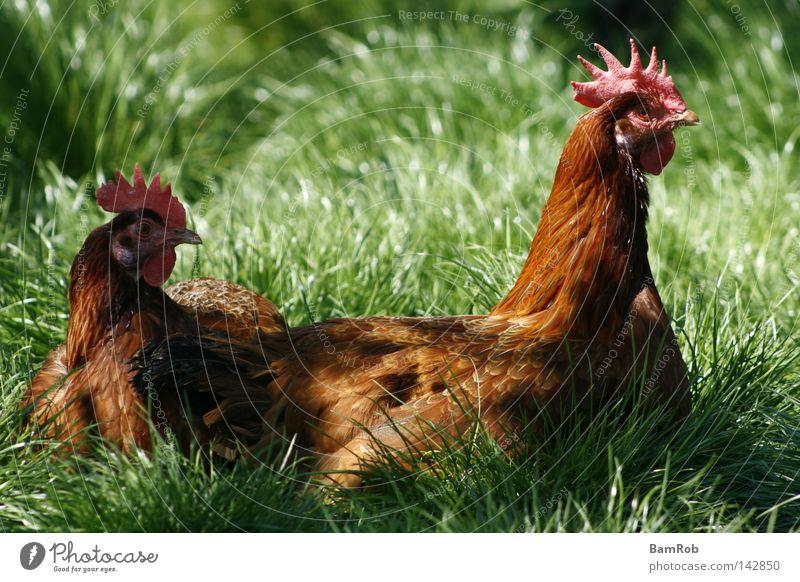 """""""Ich wollt', ich wär' ein Huhn..."""" Wiese Gras Vogel Bauernhof Tier Haushuhn Landleben"""
