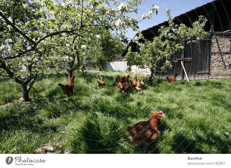 Frühling auf dem Bauernhof Baum Wiese Blüte Frühling Frieden Bauernhof Scheune Haushuhn Vogel