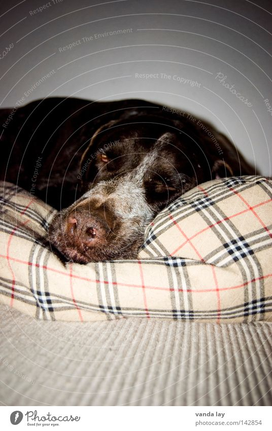 Schlafmütze Tier Erholung Hund Linie braun schlafen Platz Frieden Müdigkeit Langeweile Säugetier Teppich fertig Treue kariert Kissen