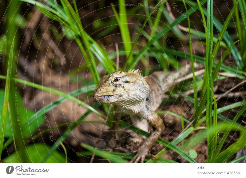 Echse Natur Tier Gras Wiese Urwald Wildtier Tiergesicht Schuppen Echsen 1 frech Neugier stachelig grau grün Farbfoto Außenaufnahme Nahaufnahme Detailaufnahme