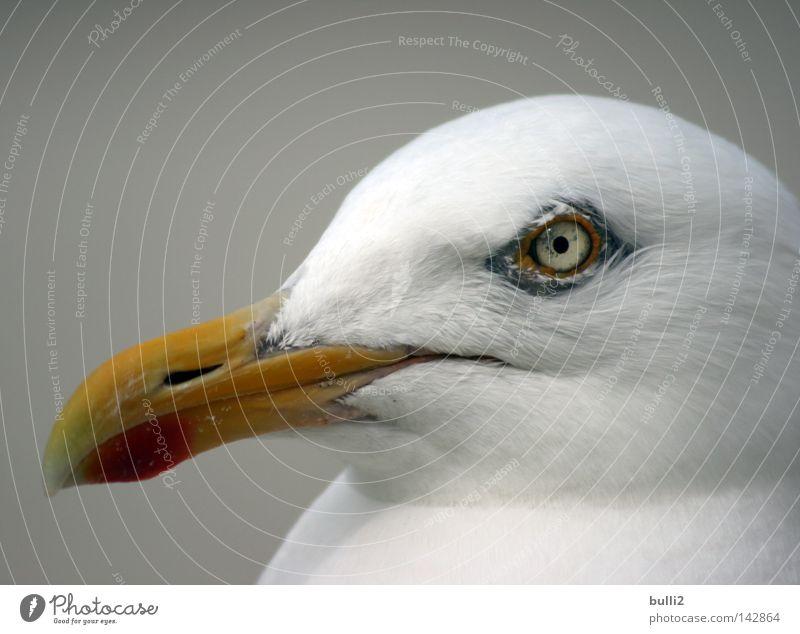 Schau mir in die Augen! Möwe Vogel Schnabel Niederlande Strand Gier Nordsee Texel