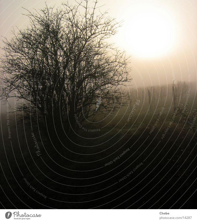 light in the fog Baum Sonne Nebel Wein Weinberg