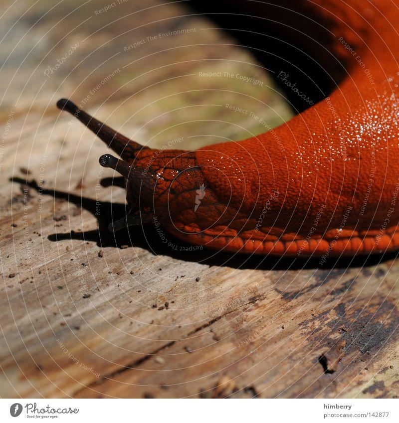 jutta dreht ab Tier Wildnis Schleim schleimig Ekel Fühler umkehren ausschalten Zeitlupe Geschwindigkeit Makroaufnahme Physis Holz Nahaufnahme Schnecke