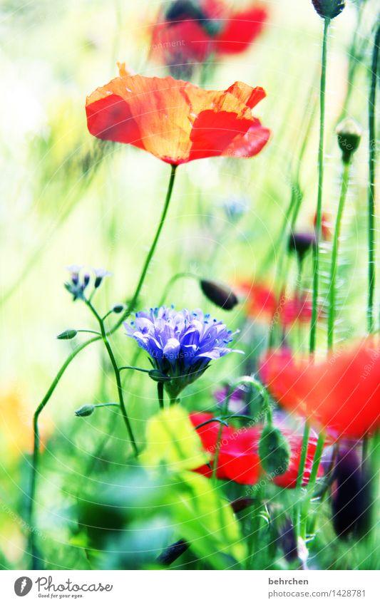 mo(h)ntag Natur Pflanze Frühling Sommer Schönes Wetter Blume Gras Blatt Blüte Wildpflanze Mohn Garten Park Wiese Feld Blühend verblüht Wachstum schön grün rot
