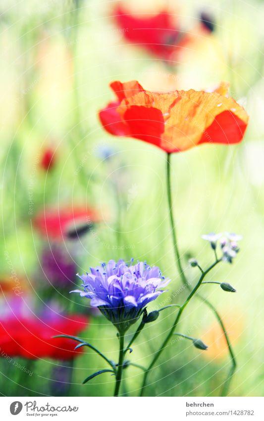 es mo(h)ntagt so schön Natur Pflanze Frühling Sommer Schönes Wetter Blume Gras Blatt Blüte Wildpflanze Mohn Garten Park Wiese Blühend Duft Wachstum grün rot