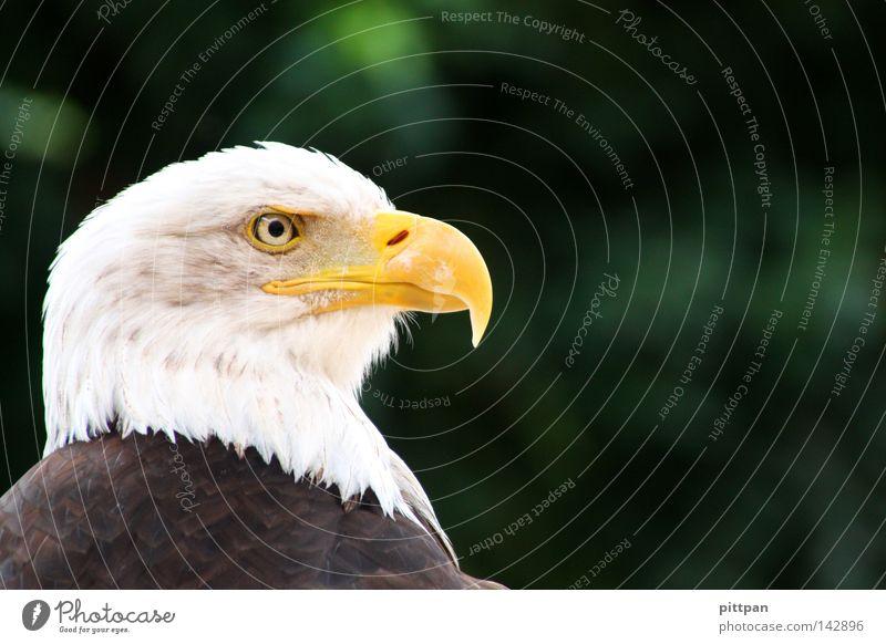 national bird Tier Vogel USA bedrohlich Feder Tiergesicht Wildtier Schnabel Adler Wappen Greifvogel Wappentier Weisskopfseeadler