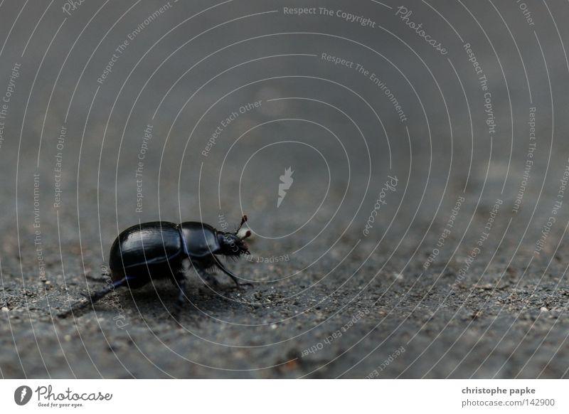 A Bug's Life Käfer schwarz groß Insekt krabbeln Ekel gepanzert Panzer Fühler Überqueren Straße Beine Chitin Makroaufnahme Bildraum Wege & Pfade Spaziergang