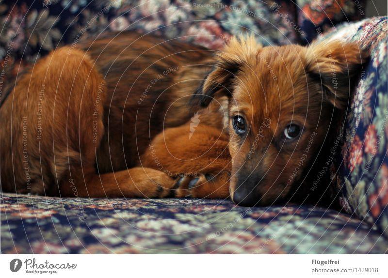 Dackelblick? Kann ich! Tier 1 liegen Hund Fell Welpe schön unschuldig Auge Blick beobachten anschauend Sessel gemütlich Blumenmuster klein niedlich
