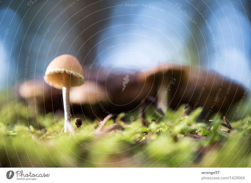 bodennah Natur Pflanze Erde Herbst Moos Wald klein blau braun grau grün Pilz Waldboden winzig Makroaufnahme Gegenlicht Reflexion & Spiegelung Unschärfe