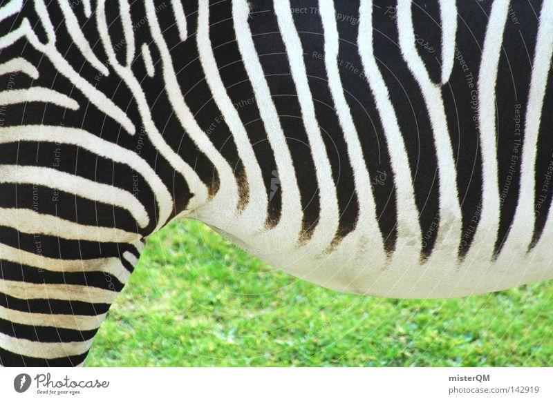 Mama, da steht ein Zebra im Garten... Muster Strukturen & Formen Fell Zoo grün Gras Tier Lebewesen Zebrastreifen Steppenzebra Unpaarhufer schwarz weiß Afrika