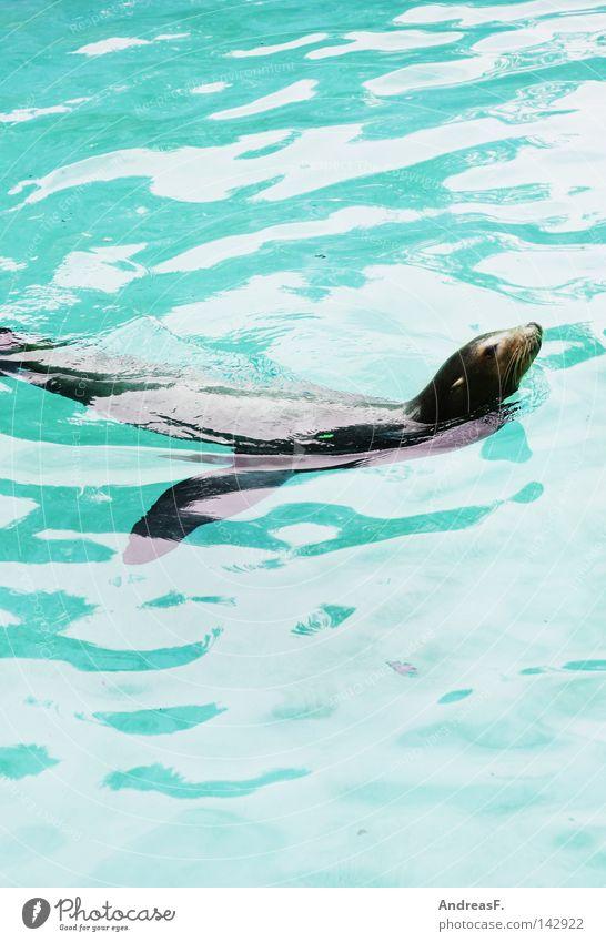 Wasserwacht Wasser Sommer Tier Schwimmen & Baden Fell Zoo türkis Säugetier Erfrischung Kühlung Flosse Im Wasser treiben Wasseroberfläche Robben Seelöwe Pelztier