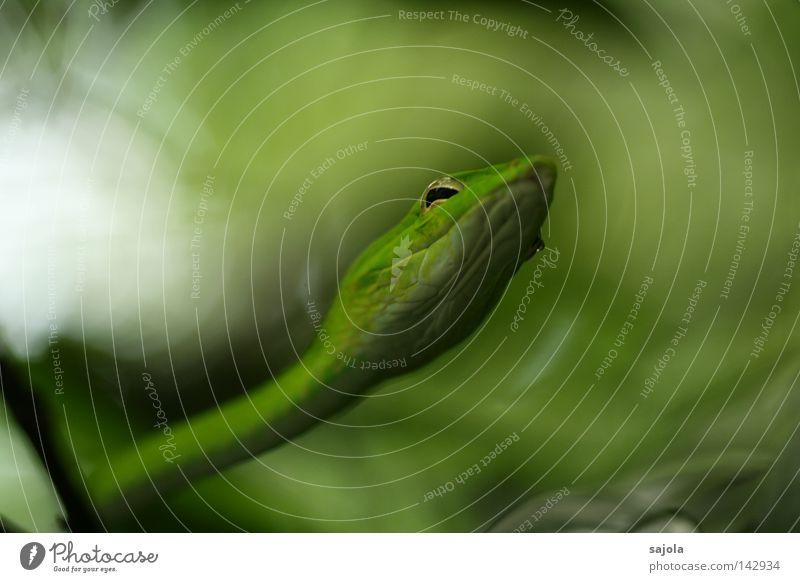was willst du denn? grün Tier Auge Kopf Wassertropfen Ast lang Asien dünn Urwald Gift Schlange Reptil unklar Pupille Singapore