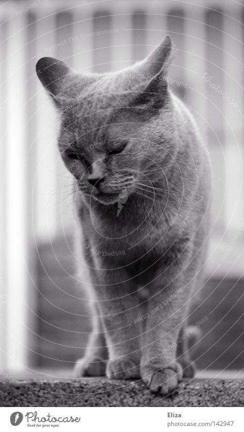 Katze schön Tier Auge grau genießen weich Freundlichkeit Wohlgefühl Bauernhof Fell Haustier Säugetier Pfote kuschlig edel