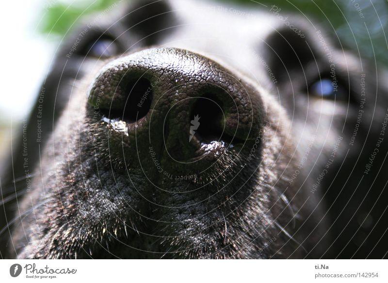 Ich rieche und sehe Dich (Cora) Hund grün Sommer Tier schwarz Auge lustig Zufriedenheit gehen laufen natürlich Nase Kommunizieren Fell Tiergesicht