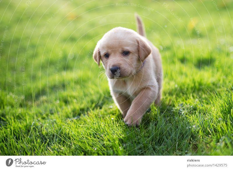 taps Natur Wiese Tier Haustier Hund 1 Tierjunges beobachten entdecken laufen Blick blond Freundlichkeit frisch schön natürlich Neugier niedlich Zufriedenheit