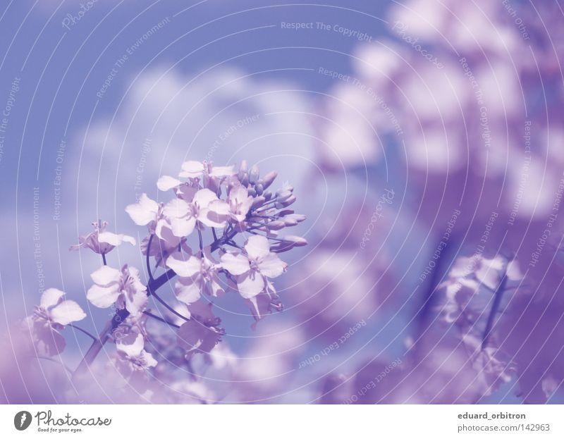 Als der Raps noch blühte... schön Blume Pflanze Wolken Blüte Feld Freizeit & Hobby Sauberkeit genießen Rapsöl
