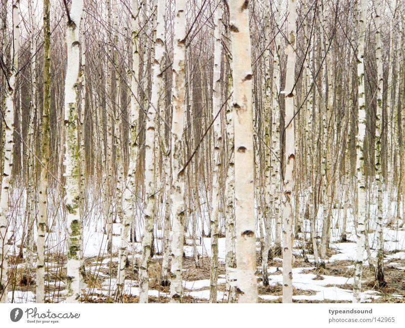 Russisches Holz Natur weiß Baum Landschaft Winter Wald kalt Schnee träumen natürlich mehrere Unendlichkeit geheimnisvoll Frieden verloren Reinheit
