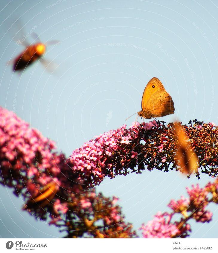 tummeln Natur blau Farbe Tier Ernährung Lebensmittel Bewegung Blüte Garten rosa Luftverkehr Flügel Lebewesen Blühend Biene Insekt