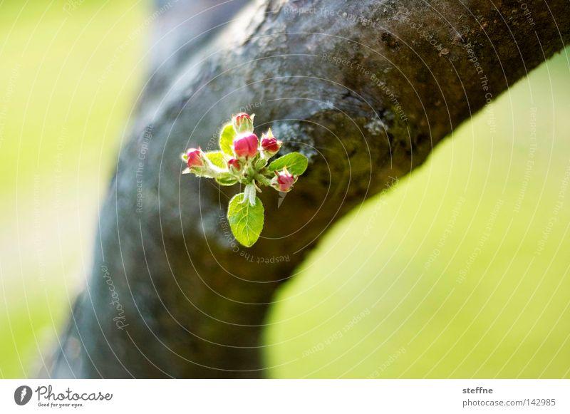 Abstammung Baum Blüte grün Baumrinde Blatt Frühling Baumstamm Natur Blühend Blütenknospen Zweig