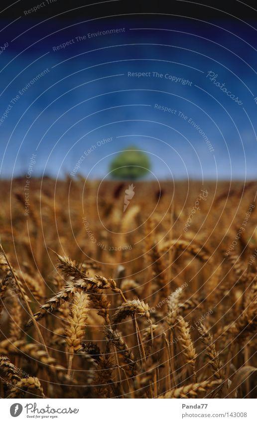 Corn Field Himmel Baum blau Sommer dunkel Kornfeld