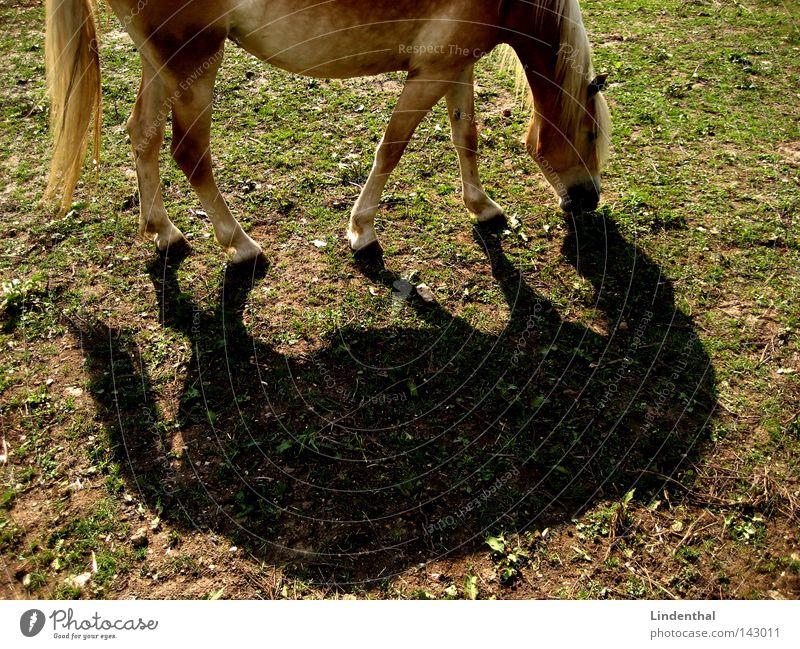 Duett des Pferdes Tier grün Wiese blond Mähne Haarsträhne Reflexion & Spiegelung 2 Säugetier hufen Schatten doppel Nase