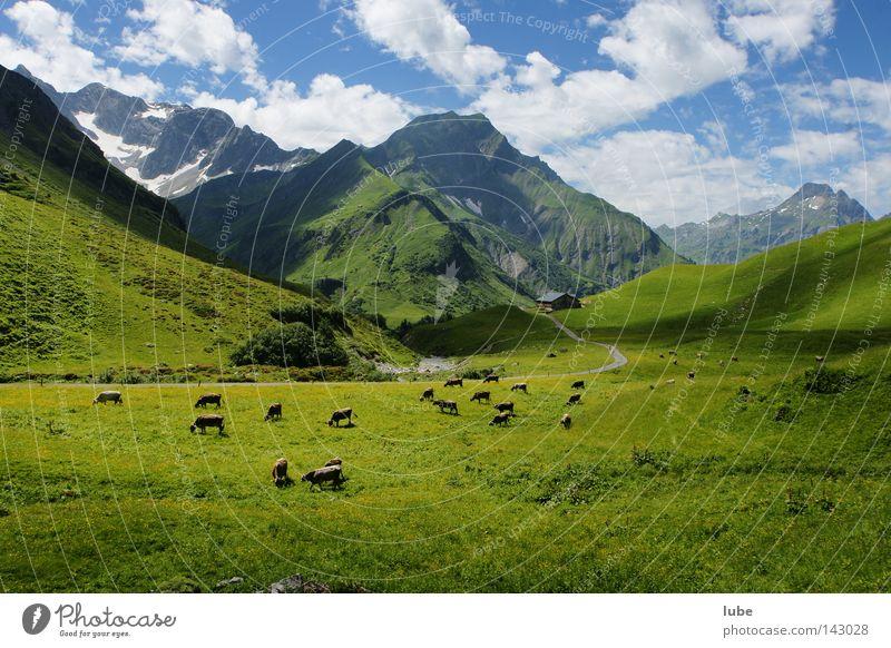 Viehweide im Gebirge Hirte Kuh Herde Alm Gras Berge u. Gebirge Landwirtschaft Hochtannbergpass Bregenzerwald Bundesland Vorarlberg Tierzucht Viehzucht
