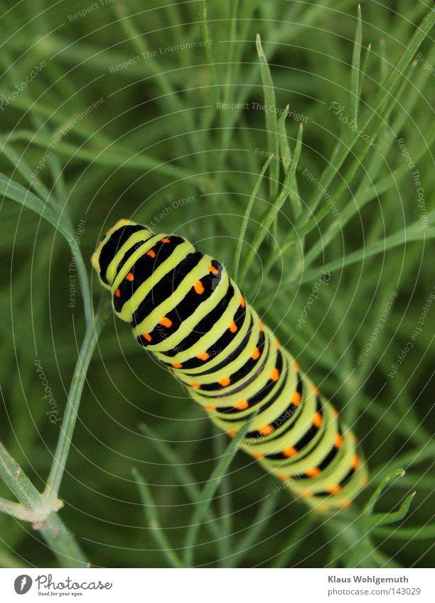 Verfressen grün Sommer schwarz Tier Streifen Schmetterling Fleck Fressen krabbeln Raupe Larve Dill Schwalbenschwanz