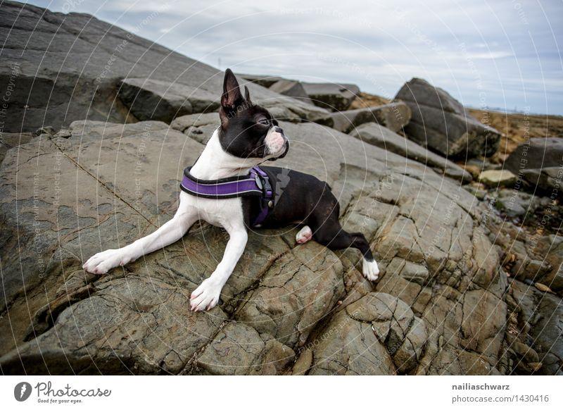 Boston Terrier Hund schön weiß Erholung Meer Tier Freude Strand schwarz Spielen klein Felsen elegant Energie beobachten niedlich
