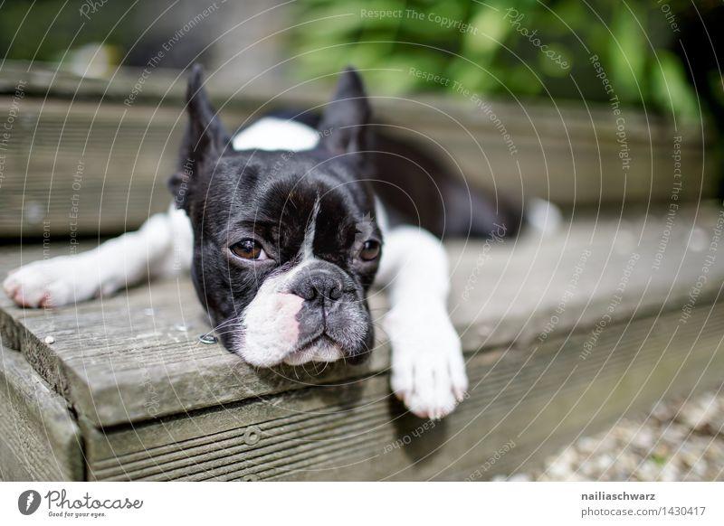 Boston Terrier Hund Sommer weiß Erholung Tier schwarz klein Fröhlichkeit Ausflug beobachten einfach niedlich schlafen Neugier Müdigkeit Langeweile