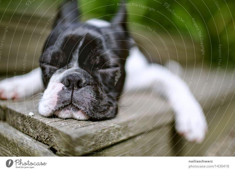Boston Terrier Hund schön Sommer weiß Erholung Tier schwarz natürlich Glück klein Zufriedenheit Idylle genießen Ausflug einfach niedlich