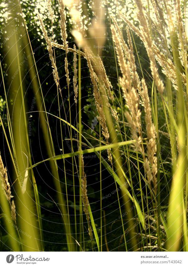 natural whisper. Natur grün Sommer Pflanze Umwelt Gras frisch Blühend Duft Halm Bildausschnitt Anschnitt Gräserblüte Indirektes Licht