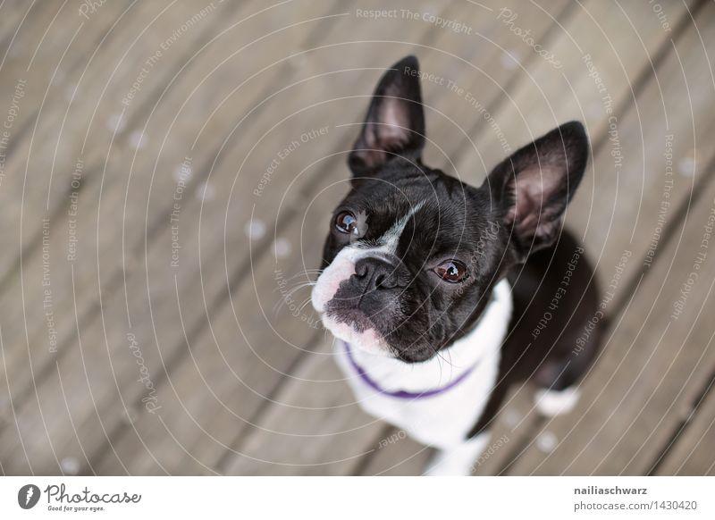 Boston Terrier Hund schön Sommer weiß schwarz klein sitzen Fröhlichkeit warten Ausflug beobachten niedlich Hoffnung Neugier Müdigkeit frech