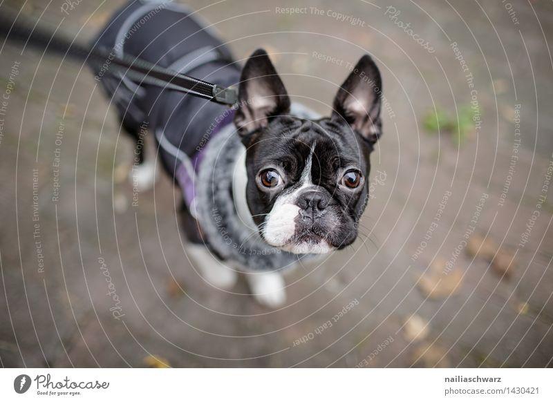 Boston Terrier Hund weiß Tier Winter schwarz kalt Herbst klein Fröhlichkeit Ausflug beobachten niedlich Neugier Jacke Erwartung Mantel