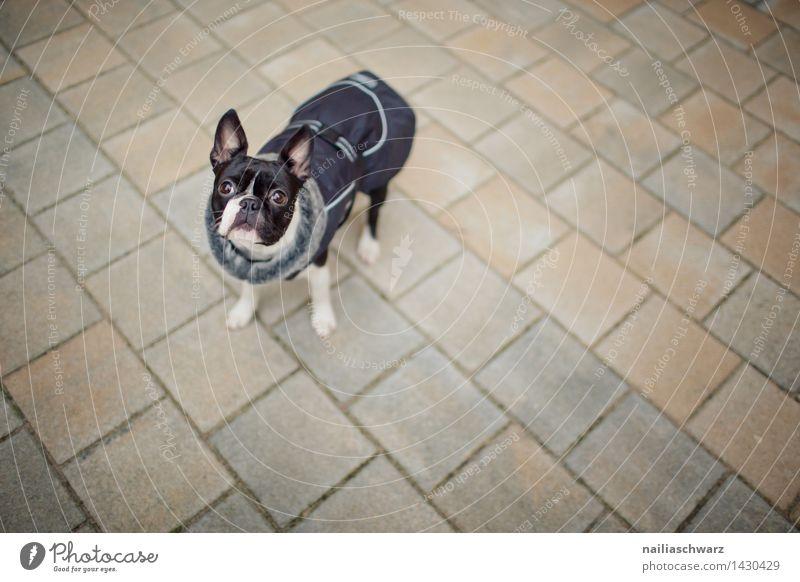 Boston Terrier Hund weiß Freude Winter schwarz kalt Herbst natürlich klein Ausflug beobachten niedlich Freundlichkeit Neugier Jacke Interesse