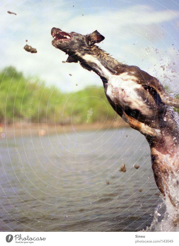 Aqua Aerobic II Farbfoto Außenaufnahme Textfreiraum links Freude Spielen Sommer Sand Wasser Wassertropfen Sonne Schönes Wetter Küste See Fell Haustier Hund 1